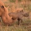 White Rhinos-2nd trip