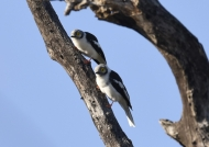 White-crested Helmet Shrikes