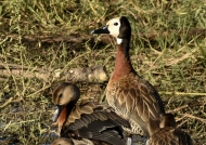 White-faced Duck