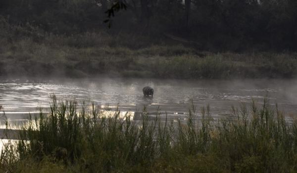 Hippo at dawn