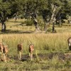 Impalas with a waterbuck