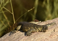 South African Monitor Lizard