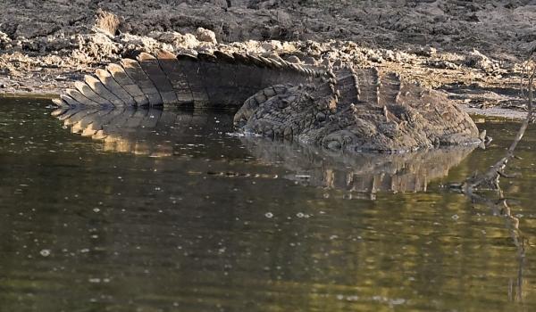 Huge Nile Crocodile