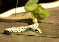 Spotted Bush Snake