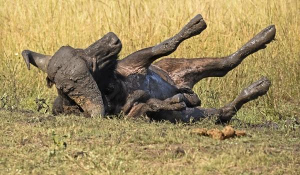 African Buffalo enjoying mud