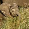 Baby Elephant «laughing»