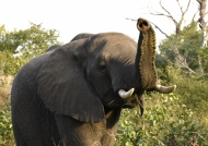 Elephant sniffing our presence