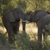 Elephant confrontation