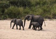 Elephants leaving the river