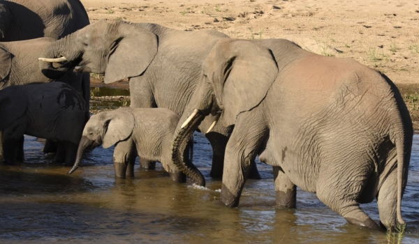 Elephant family in the river