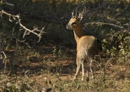 Klipspringer – male