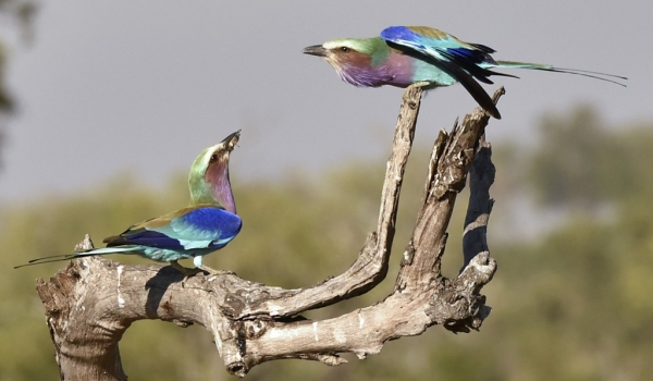 Lilac-breasted Rollers-Couple