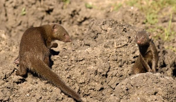 Dwarf Mongooses