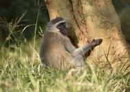Vervet Monkey…