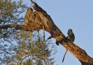 Vervet Monkey family