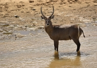 Waterbuck – front of the lodge