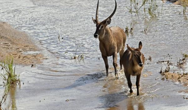 Waterbucks – male & female