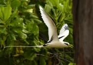 White-tailed Tropicbird