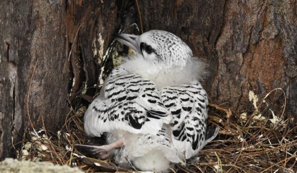 White-tailed Tropicbird juv.
