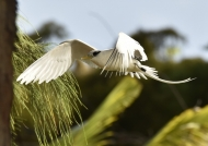 White-tailed Tropicbird