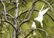 Fairy Tern love story