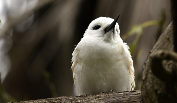Fairy Tern – juvenile