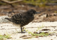 Sooty Tern chick