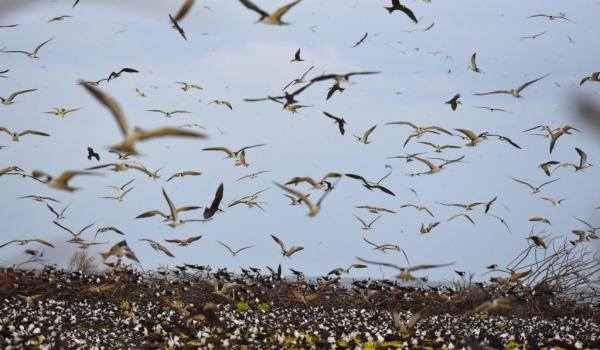 Sooty Tern colony….
