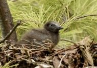 Brown Noddy – chick