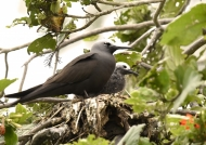 Lesser Noddy with chick