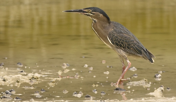 Green-backed Heron