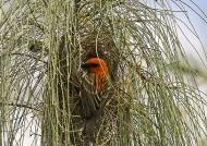 Male Fody nesting