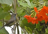 Seychelles Sunbird – male