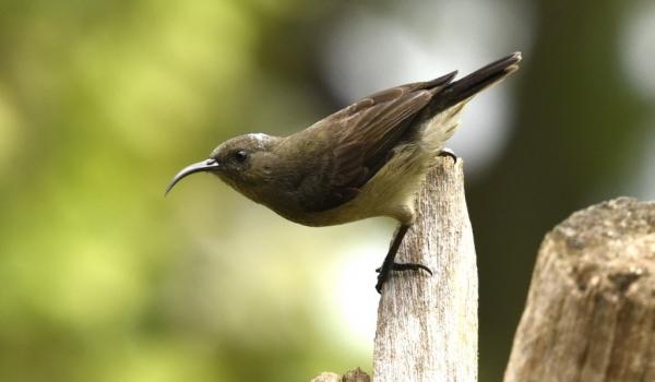 Seychelles Sunbird – female