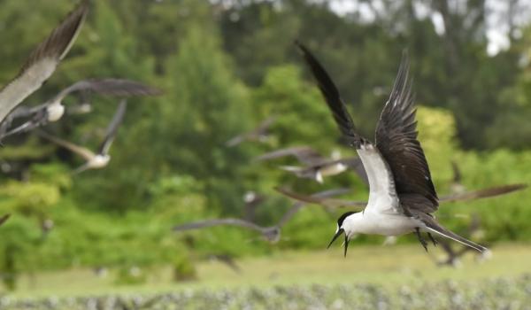 Sooty Terns