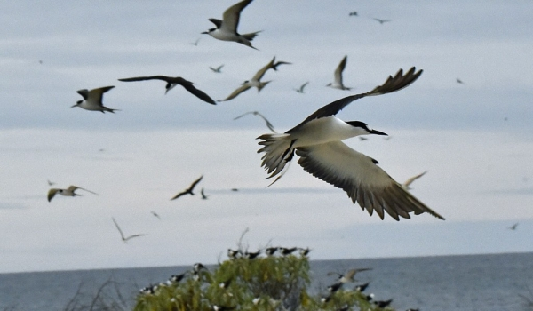 Sooty Terns above the beach