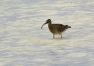 Whimbrel eating a crab