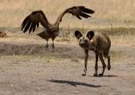Wild  Dog chasing…