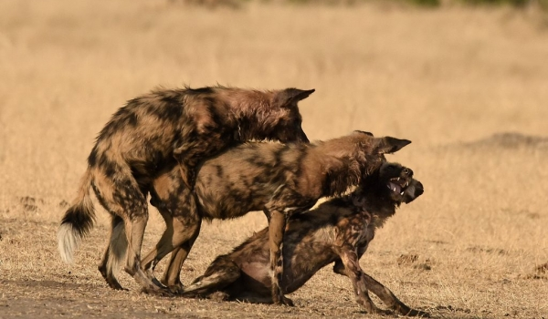 Wild Dogs mating