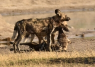 Wild Dog friendship