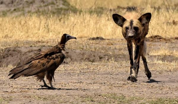 Hwange N.P. Hooded Vulture…