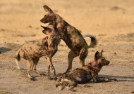 One Wild Dog is sick,