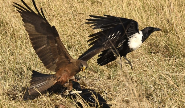 Yellow-billed Kite&Pied Crow