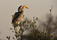 Sthrn Yellow-billed Hornbill