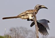 Grey Hornbill & Starling