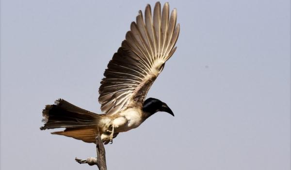 Grey Hornbill