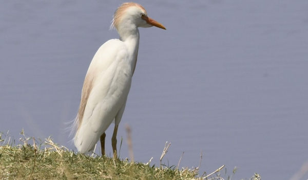 Cattle Egret – Breeding time