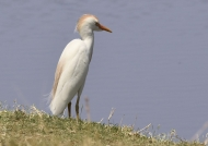 Cattle Egret – Breeding time