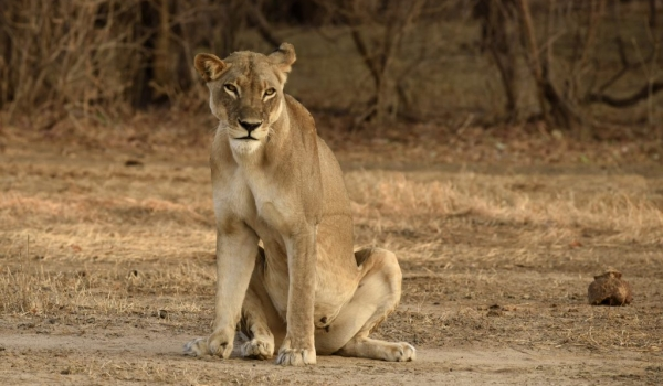 Lioness in a bad mood?