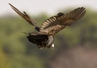 Helmet Guineafowl in flight